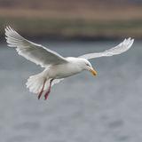 Glaucous Gull (1)