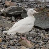 Glaucous Gull (3)