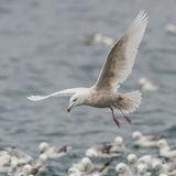 Glaucous Gull (4)
