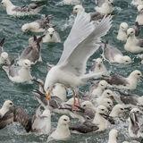 Glaucous Gull (5)