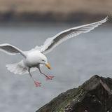 Glaucous Gull (7)