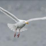 Glaucous Gull (8)