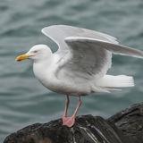 Glaucous Gull (9)