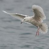 Glaucous Gull (10)
