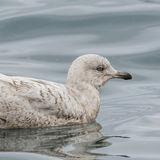 Iceland Gull (1)