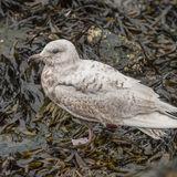 Iceland Gull (2)