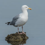 European Herring Gull (1)
