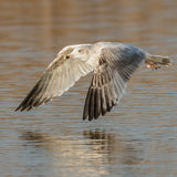 European Herring Gull (3)