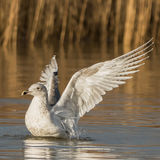 European Herring Gull (4)