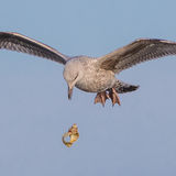 European Herring Gull (6)