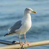 European Herring Gull (7)