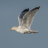 European Herring Gull (8)