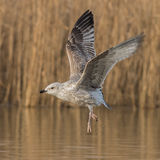 European Herring Gull (9)