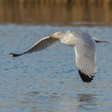 European Herring Gull (12)