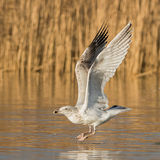 European Herring Gull (13)