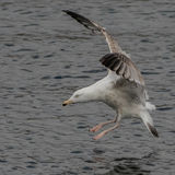 European Herring Gull (14)