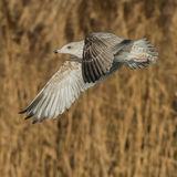 European Herring Gull (15)