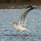 European Herring Gull (16)