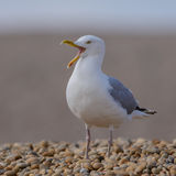 European Herring Gull (17)