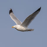 European Herring Gull (18)