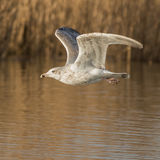 European Herring Gull (19)