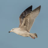 European Herring Gull (20)