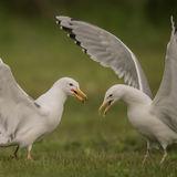 Caspian Gull (2)