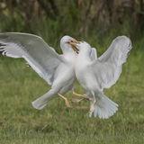 Caspian Gull (3)