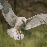 Caspian Gull (4)
