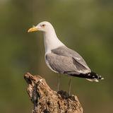 Caspian Gull (5)