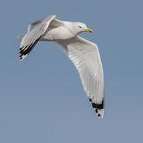 Caspian Gull (6)