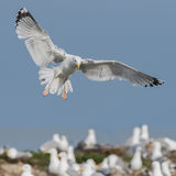 Caspian Gull (7)