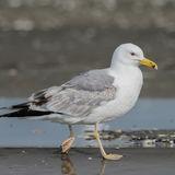 Caspian Gull (8)