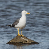 Lesser Black-backed Gull (1)