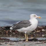 Yellow-legged Gull (3)