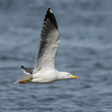 Lesser Black-backed Gull (2)