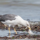Yellow-legged Gull (4)
