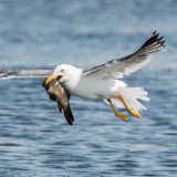 Lesser Black-backed Gull (3)
