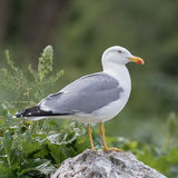 Yellow-legged Gull (5)