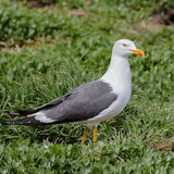 Lesser Black-backed Gull (4)