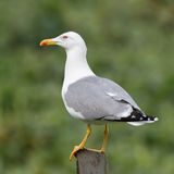 Yellow-legged Gull (6)