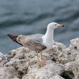 Yellow-legged Gull (7)