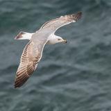 Yellow-legged Gull (8)
