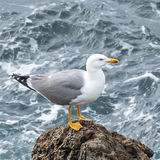 Yellow-legged Gull (9)