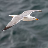 Yellow-legged Gull (10)