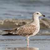 Lesser Black-backed Gull (6)