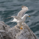Yellow-legged Gull (11)