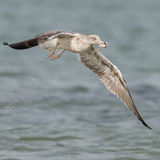 Lesser Black-backed Gull (7)