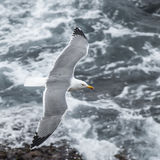 Yellow-legged Gull (12)