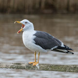 Lesser Black-backed Gull (8)